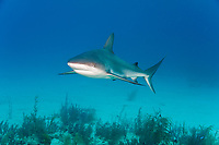 Caribbean Reef Shark (Carcharhinus perezii), a common shark species found throughout the Caribbean, the Bahamas and Florida.