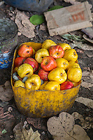 Red and Yellow Cashew Apples Collected from the Ground, near Sokone, Senegal.  Tiny fruit flies look for juices.