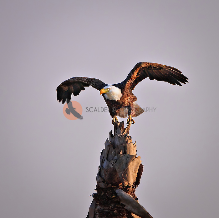 Bald Eagle on Palm Tree with wings spread in late evening light