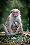 Female Toque Macaque (Macaca sinica) with young infant suckling. Near Sinharaja National Park, Sri Lanka.