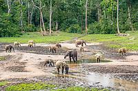 African forest elephants (Loxodonta cyclotis) at Dzanga Bai, Unesco world heritage sight Dzanga-Sangha Special Reserve, Central African