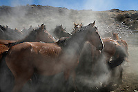 Dust settles as the chase comes to a halt after running for miles from a buzzing helicopter.  Mustangs are stunned to be captured inside a fence for the first time in their lives. Drought created harsh conditions for these wild horses in Nevada.