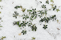 Texas Bluebonnet (Lupinus texensis), leaves covered with snow Graupel, Texas, USA