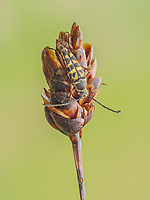 A Zebra Longhorn (Typocerus zebra) beetle perches on its overnight roost in the early morning.