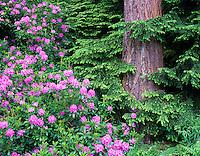 Blooming rhododendrons and Hemlock tree in Washington Park Arboretum, Seattle, Washington