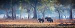 African bush elephants (Loxodonta africana) roam forests of apple--ring acacia (Faidherbia albida), Mana Pools National Park, Zimbabwe<br /> <br /> Canon EOS 5DS R, EF100-400mm f/4.5-5.6L IS II USM lens, f/5.6 for 1/1600 second, ISO 640