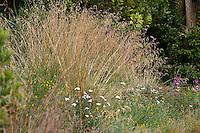 California fescue grass (Festuca californica) in native plant garden, lawn substitute meadow