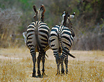 Zebra Bums, Ruaha River, Tanzania