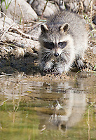 Raccoon wetting paws at edge of pond. - CA