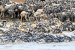 Herds of white-bearded wildebeest (Connochaetes taurinus albojubatus) crossing the Mara River. Northern Serengeti, Serengeti National Park, Tanzania (early September).
