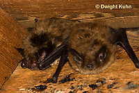 MA20-536z  Little Brown Bats, Myotis lucifugus