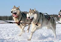 USA, Alaska, Iditarod sled dogs mush by near the Willow re-start.