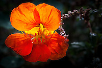 A nasturtium, glowing with back light on a warm late summer afternoon.