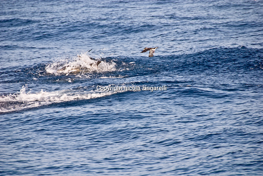 A school of Common Dolphins (Delphinus delphis) is working together to feed on the needlefish