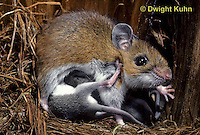 MU29-055z  Deer Mouse - immature young five weeks old -  Peromyscus maniculatus