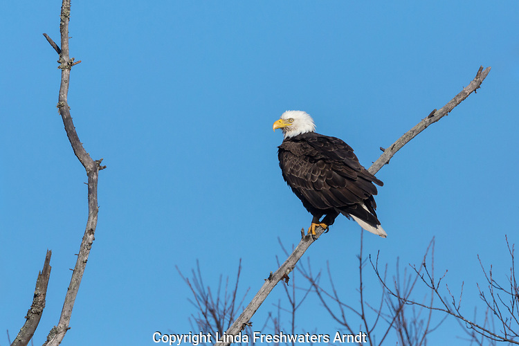 Bald eagle in northern Wisconsin