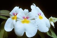 Miltonia = Miltoniopsis Seine 'Diamant' AM/AOS awarded orchid hybrid (Diademe x Edwidge Sabourin, 1974)