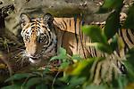 Bengal Tiger cub (Panthera tigris tigris) - around 20 months old - in forest. Bandhavgarh National Park, Madhya Pradesh, India.
