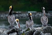 Statuesque California Brown Pelicans at Moss Landing.