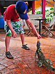 7 August 2009: The Green Iguana (Iguana iguana) is fed by Josh Wolfstein. The Iguana is found throughout the island of Bonaire. Taken along the coral coastline at Captain Don's Habitat on the island of Bonaire, in the Netherlands Antilles. Mandatory Credit: Ed Wolfstein Photo