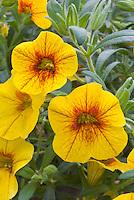 Calibrachoa 'Can Can Sunrise' annual flowers similar to petunia
