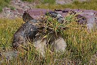 Hoary Marmot (Marmota caligata) gathering grass to line its winter hibernating den (sleeping area).  Western N.A., Sept.