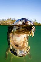 spectacled caiman, white caiman, or common caiman, Caiman crocodilus, Rio Baia Bonita, Bonito, Mato Grosso do Sul, Brazil