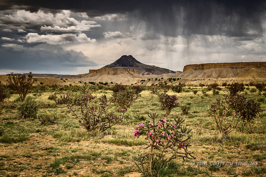Chainfruit Chollas in bloom under a stormy sky in New Mexico's Rio Puerco Valley with Cerro Cuate in the distance.