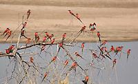 Carmine Bee-eater, Merops nubicoides- South Luangwa National Park, Zambia, bird, avian