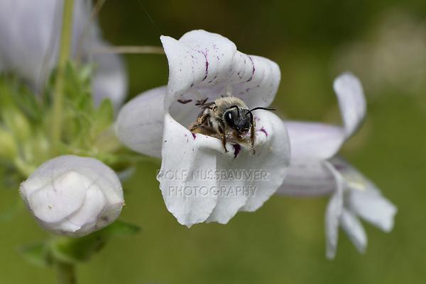 Cellophane bee (Colletes sp.), Hill Country, Central Texas, USA