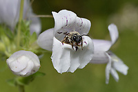 Cellophane bee (Colletes sp.), Hill Country, Central Texas, USA