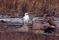 Snowy Owl (Bubo scandiacus) Female or Juvenile, sitting on Frost Covered Log at Boundary Bay Regional Park, Delta, BC, British Columbia, Canada - aka Arctic Owl, Great White Owl or Harfang.  Note bloody face and chest feathers from feeding on hunted prey.