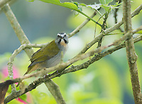 Buff-throated saltator, Saltator maximus. Tandayapa Valley, Ecuador