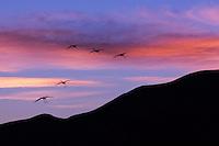 Sandhill Cranes flying at sunset