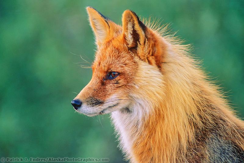 Red fox portrait, Denali National Park, Alaska