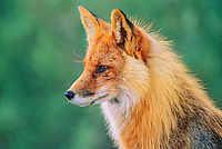Red fox portrait, Denali National Park, Alaska