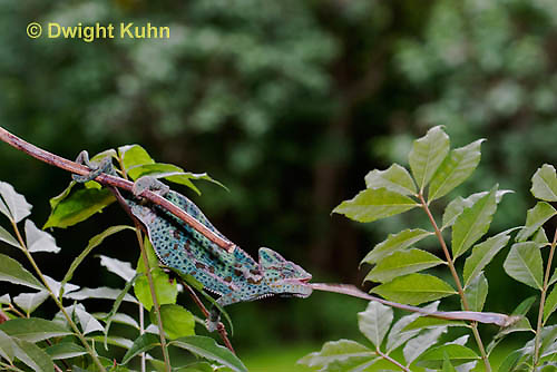 CH38-508z Female Veiled Chameleon tongue flicking to catch insect prey, Chamaeleo calyptratus, for sequence see CH38-507z