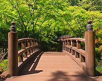 Moon Bridge viewing east into green leaves of tall Japanese Maple trees in late Spring in the Portland Japanese Garden
