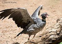 0214-1201  Southern Screamer (Crested Screamer), Chauna torquata  © David Kuhn/Dwight Kuhn Photography