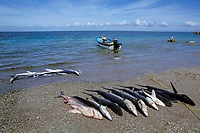 blue sharks, Prionace glauca, a single day catch, Mexican shark fishery, Isla Magdalena, Baja, Mexico, Pacific Ocean