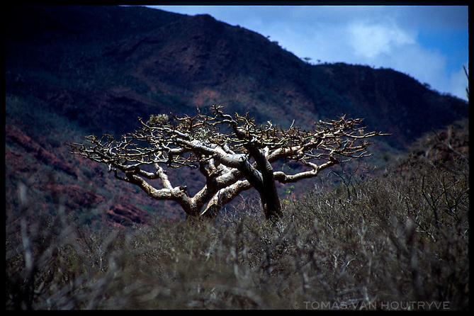 The Socotran Frakincense tree (Boswellia elongata), is seen in the Adaho Di Maqlahin area on the island of Socotra, Yemen on Saturday, 21 May 2005.<br />
