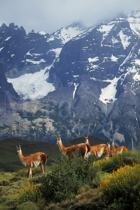 Female GUANACOS (Lama guanicoe) & babies in TORRES DEL PAINE NP with ANDES PEAK behind - PATAGONIA, CHILE.