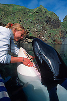 trainer and Keiko, star of Free Willy movie, killer whale or orca, Orcinus orca, during husbandry session, Vestmannaeyjar, Westman Islands, Iceland, North Atlantic Ocean