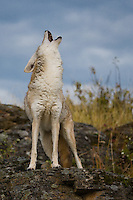 Coyote (Canis Latrans) howling on a rocky ledge near Kalispell, Montana, USA - Captive Animal
