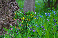 Uvularia grandiflora, large-flowered bellwort or merrybells, yellow flowering spring native plant with Bluebells - Winterthur Garden, Delaware