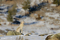 Wild Yellowstone wolf (Canis lupus) howling.  Yellowstone National Park, Wyoming.  Winter.
