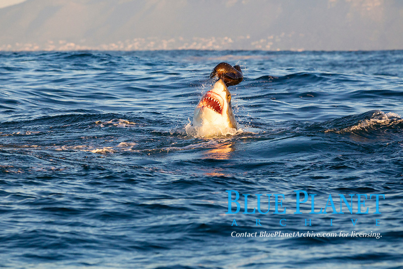 great white shark, Carcharodon carcharias, attacking on a Cape fur seal or South African fur seal, Arctocephalus pusillus pusillus, Seal Island, False Bay, South Africa