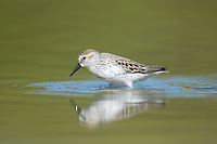 Western Sandpiper (Calidris mauri)searching for food in shallow water