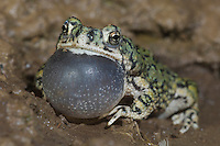 Western Green Toad, Bufo debilis insidior, male at night calling, Portal, Chiricahua Mountains, Arizona, USA, August 2005