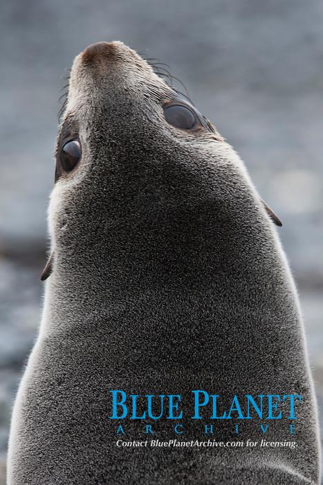 Antarctic Fur Seal pup, Arctocephalus gazella, portrait, South Georgia, South Atlantic Ocean